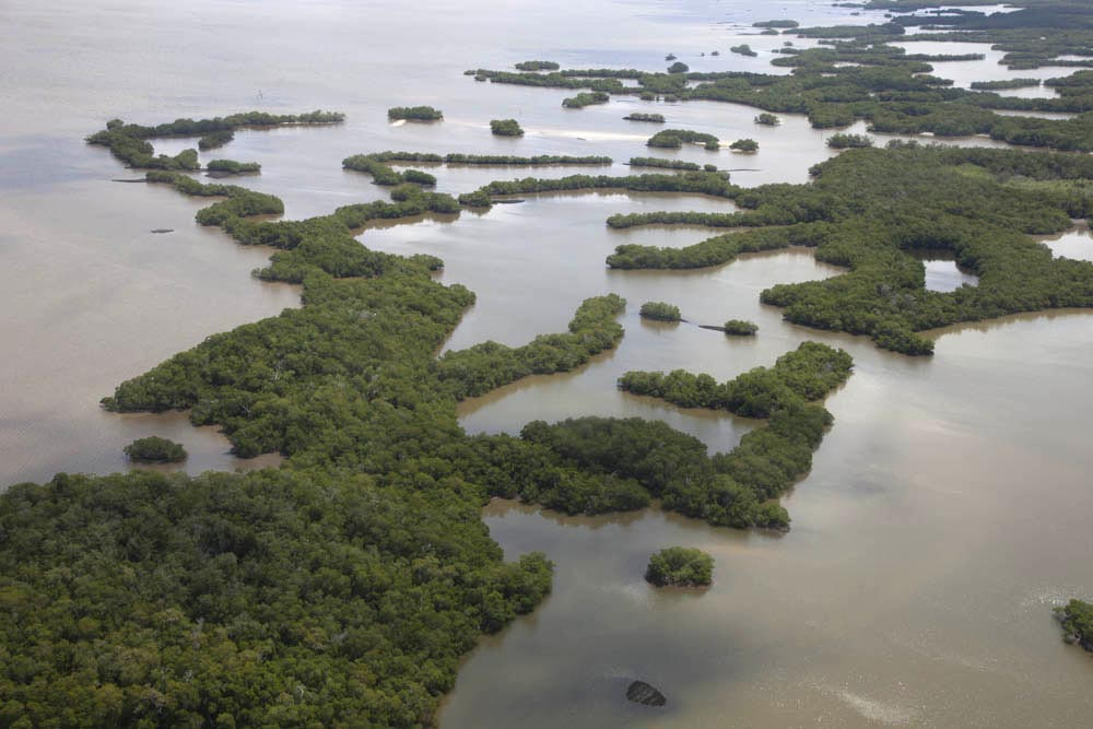 mangrove swamps importance essay A mangrove swamp is a distinct saline woodland or shrubland habitat formed by mangrove trees they are characterized by depositional coastal environments, where fine sediments (often with high organic content.